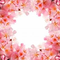 Рамка цветущая вишня