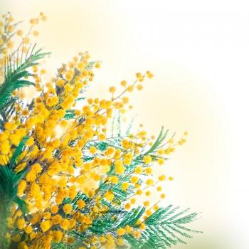 Ветви мимозы
