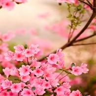 Ветви сакуры