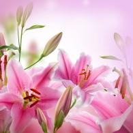 Розовые лилии розовый фон