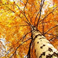 Березовая осень
