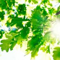 Солнце в дубраве